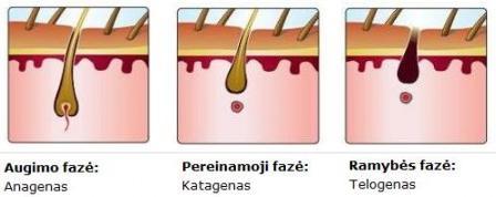 Plauko augimo ciklai: telogenas, katagenas, anagenas